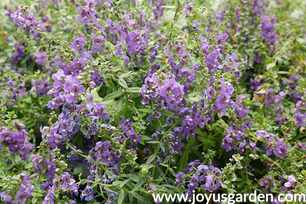 close up of purple ANGELONIA annuals for the sun