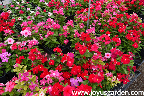 flats of pink, red & lavender ANNUAL VINCA annuals for the full sun