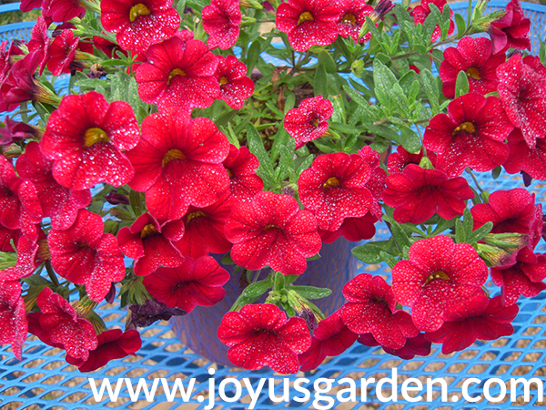close up of cherry red CALIBRACHOA annuals for the full sun