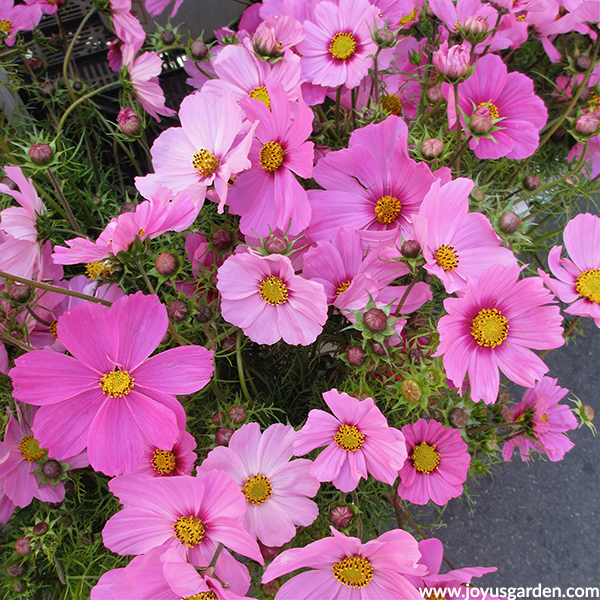 close up of pink COSMOS annuals for the full sun