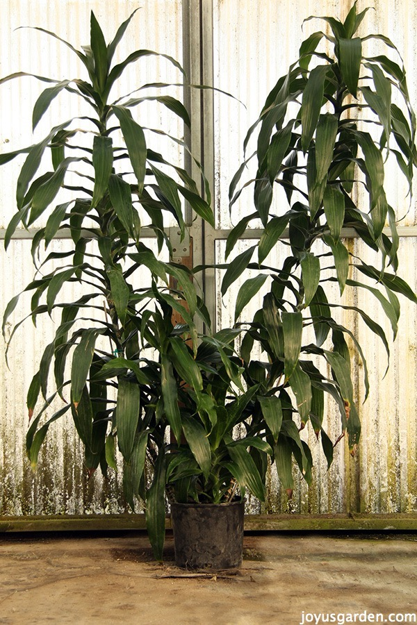 a very tall dracaena janet craig with 2 canes in a greenhouse