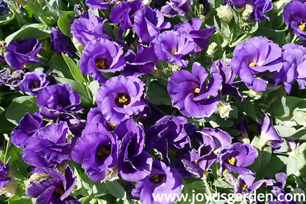 close up of purple LISIANTHUS annuals for the full sun