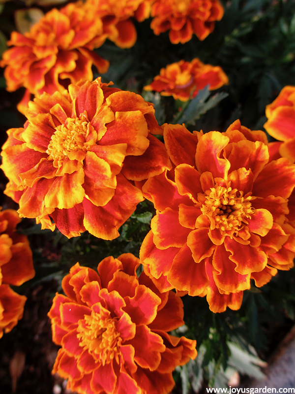 close up of orange & yellow bi-colored marigolds