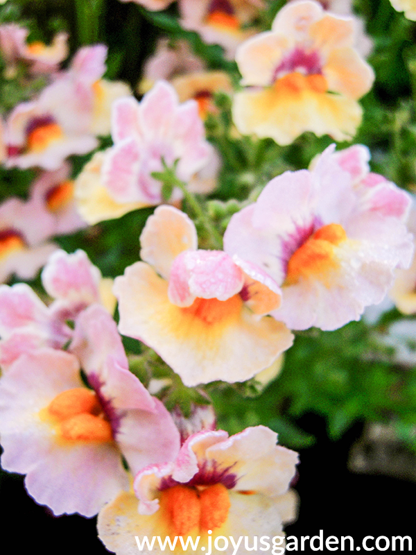 close up of pale pink/yellow/apricot NEMESIA annuals for the full sun