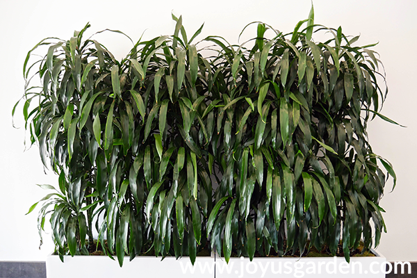 a row of dracaena lisas in a long rectangular white planter