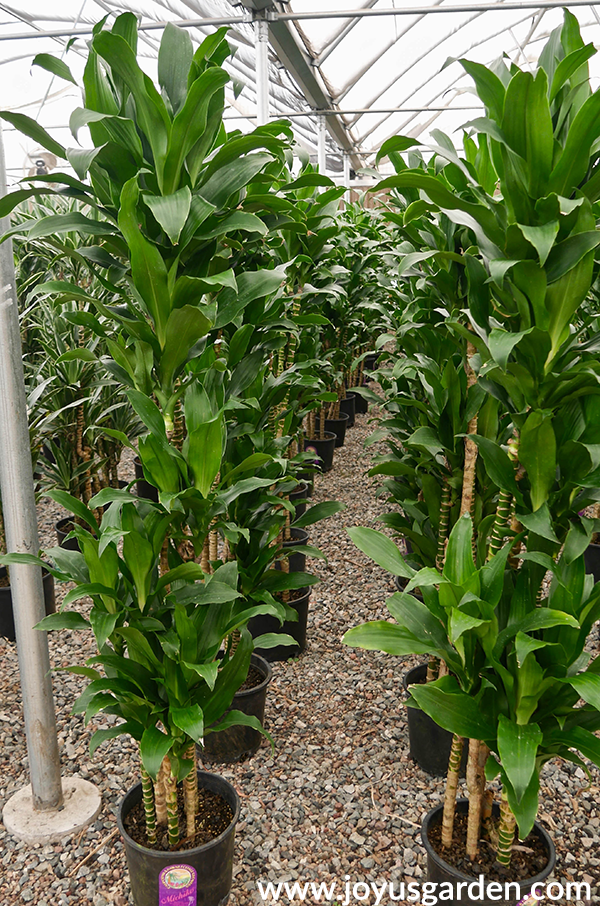 2 long rows of dracaena michikos in the greenhouse