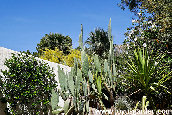 a star jasmine plant grows against a white wall next to a cow's tongue cactus z& a yucca plant