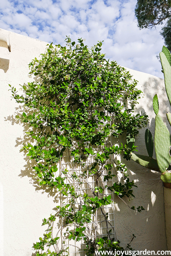 a tall star jasmine plant grows on a trellis attached to a white wall