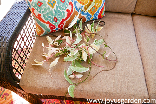 variegated hoya carnosa cuttings sit on a patio loveseat