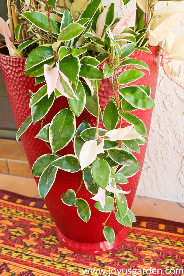 variegated hoya carnosa stems trail over a tall red pot
