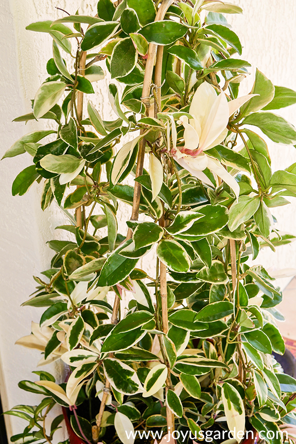 a beatiful variegated hoya carnosa has been trained to grow upwards on bamboo hoops
