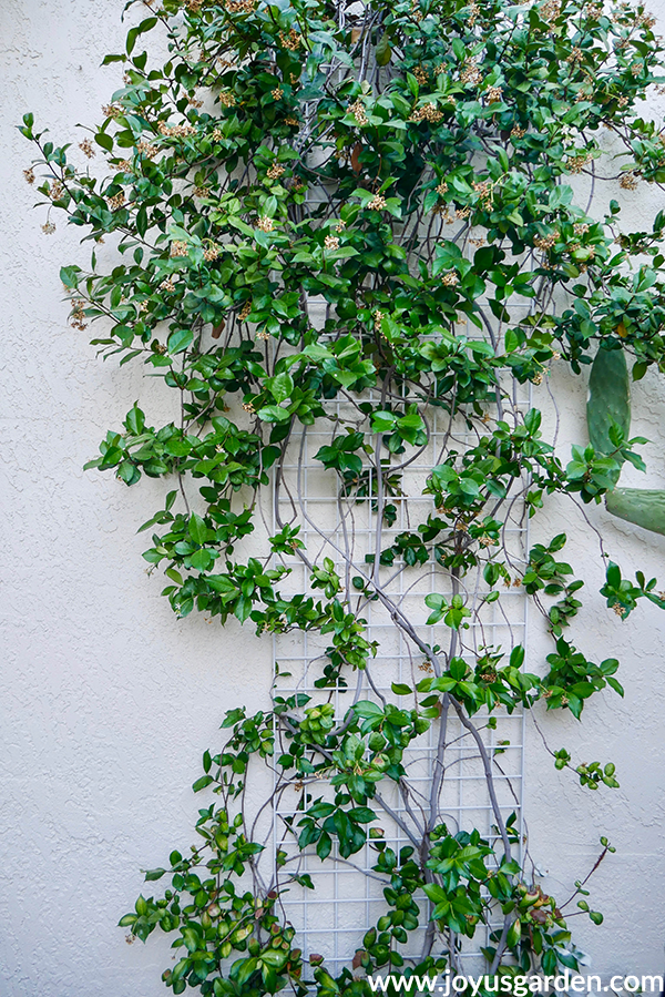 close up of a star jasmine plant with dead flowers growing on a trellis