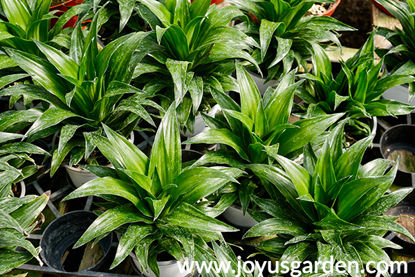 a flat of dracaena janet craig compactas in the greenhouse