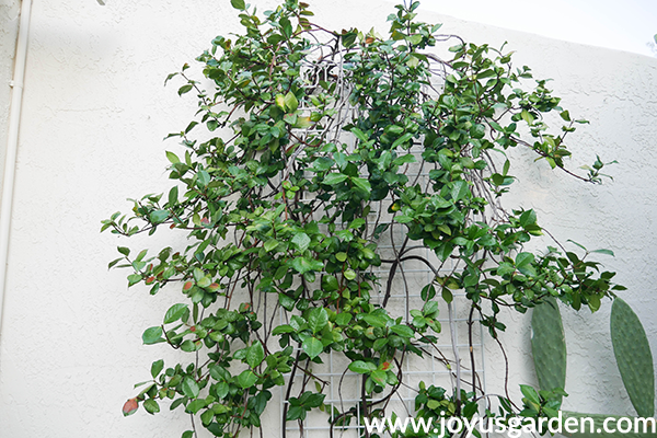 the top half of a star jasmine plant growing against a white wall