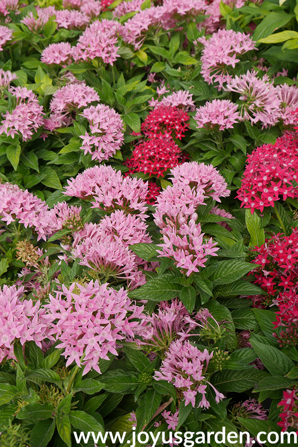 close up of pink & deep rose PENTA annuals for the full sun