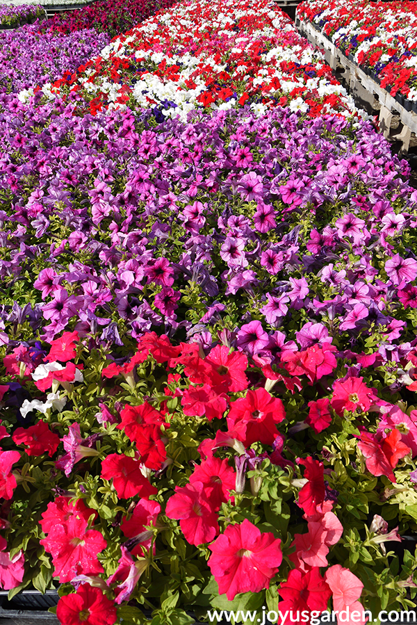 rows of red, white & purple PETUNIAS annuals for the full sun