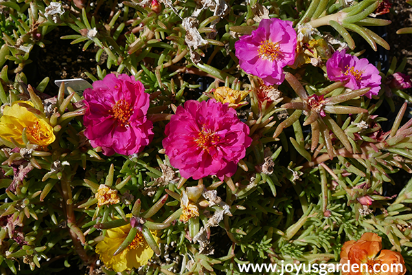 close up of yellow & pink PORTULACA annuals for the full sun