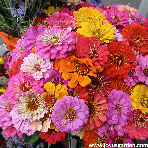 a bouquet of pink, orange, yellow & red zinnias