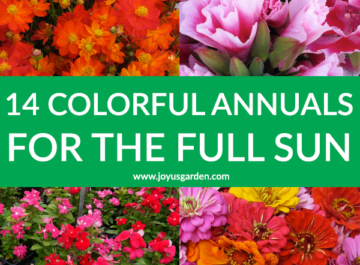a collage with sulfur cosmos godetia annual vinca & zinnias the text reads 14 Colorful Summer Annuals for the Full Sun.