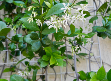 close up of star jasmine vine with white flowers the text reads the best time to prune star jasmine