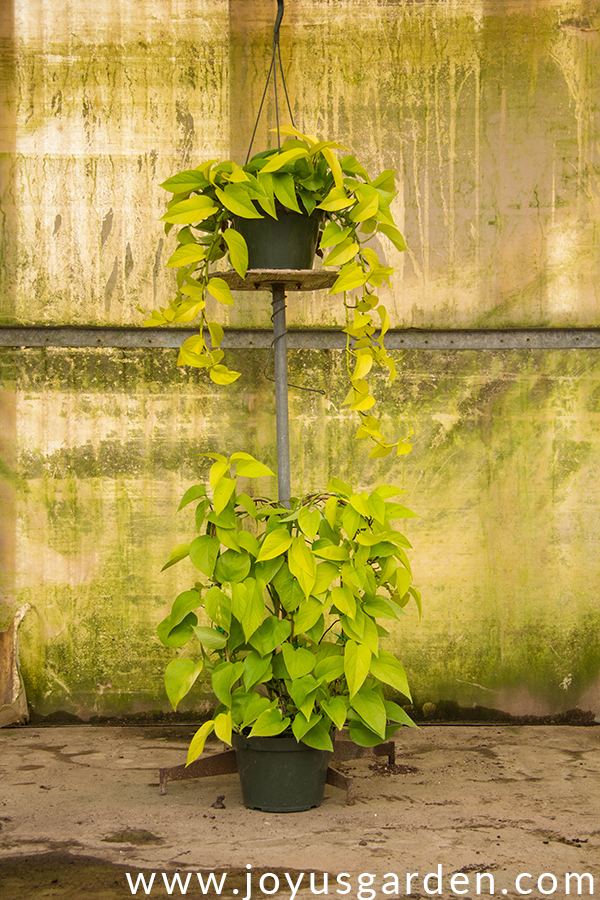 a pothos neon in a hanging grow pot sits on a stand with a pothos neon growing over a hoop at the base