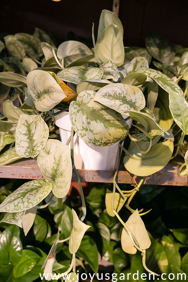 a pothos silver splash in a white plastic pot sits on a shelf with other pothos