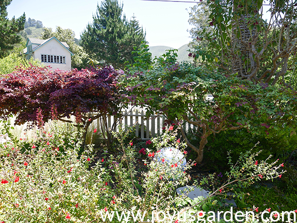 a garden in summer there are shrubs & trees in the background with a woody salvia in front