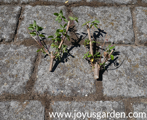 2 short stems which have been pruned out of a woody salvia