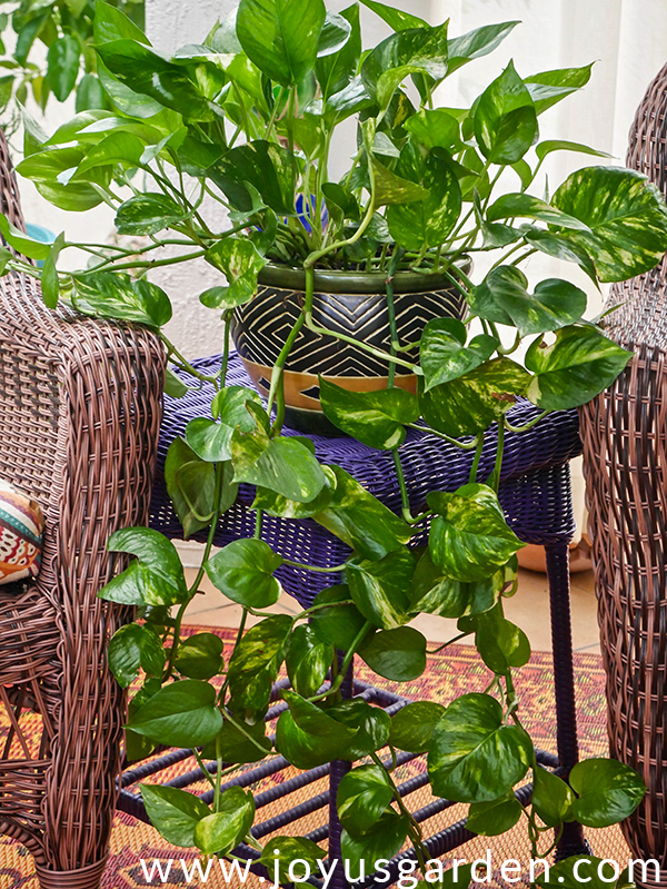 a golden pothos with long trails in a ceramic pot sits on a purple wicker table