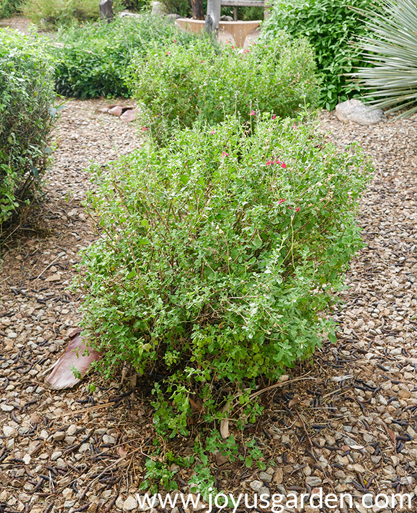 2 woody salvia which have been pruned into a rectangular shape