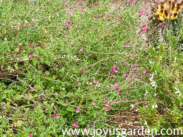 an over grown woody salvia which flowers & dead stems