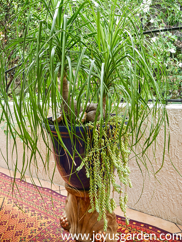 a large 3-headed ponytail palm underplanted with burro's tail succulents grows in a large blue pot on a pedestall