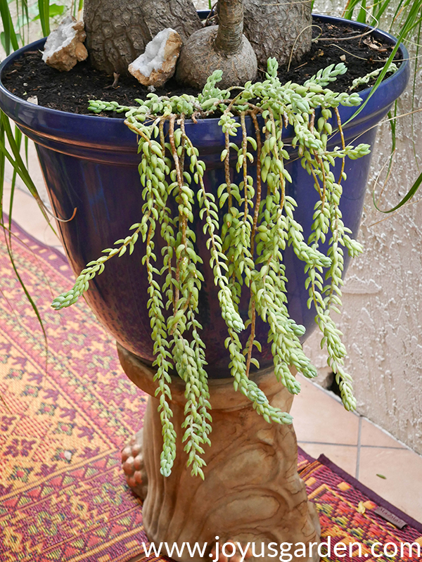 close up of a burro's tail succulent trailing out of a large blue pot on a pedestal