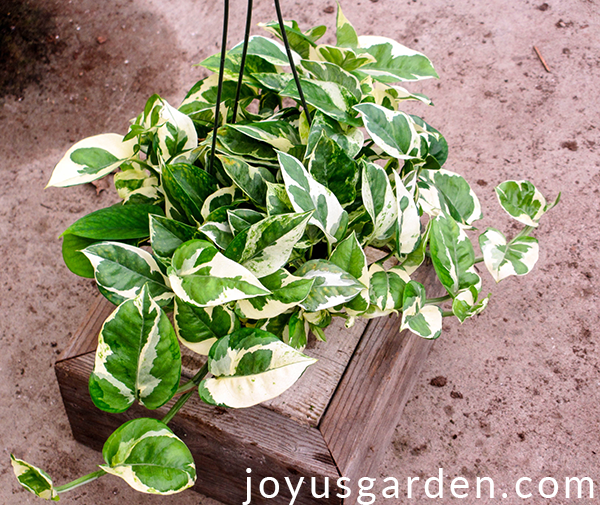 a green & white pothos glacier sits on a wooden box which is on the floor