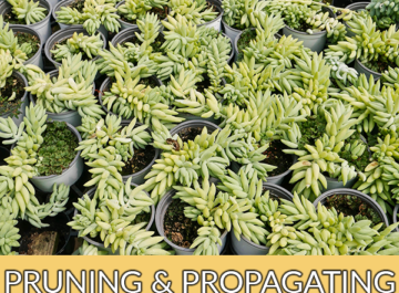 lots of burro's tail donkey's tail sedum morganianum cuttings rooting in small pots the text reads pruning & propagating a burro's tail succulent (sedum morganianum, donkey's tail) made simple