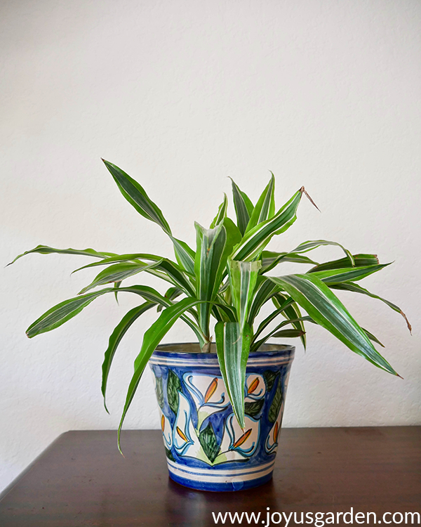 a dracaena lemon lime in a blue talavera pot sits on a dark wood table