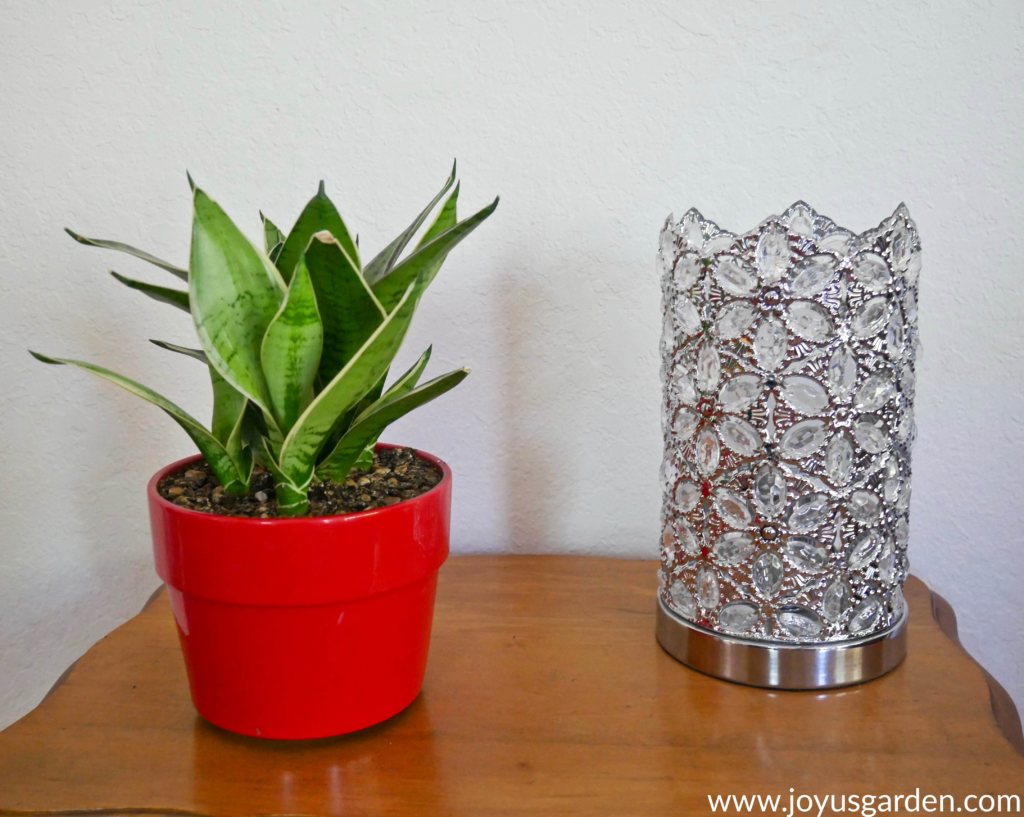 Snake plants are easy to maintain
