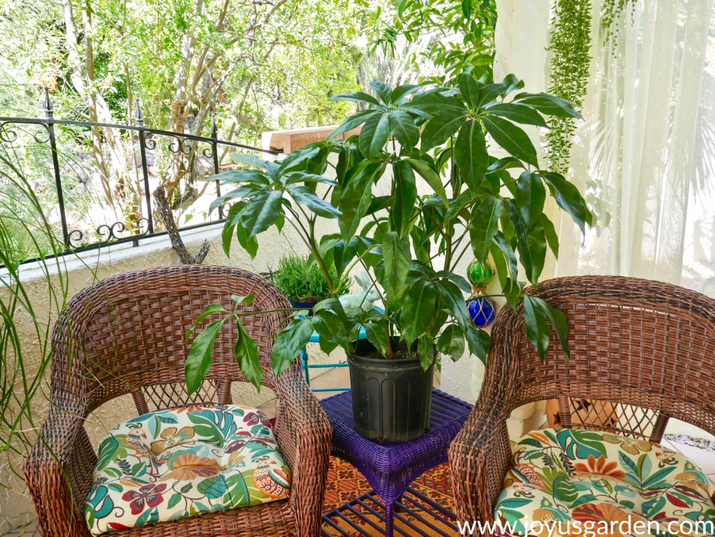 a schefflera amate in a grow pot sits on a purple table in between 2 wicker chairs on a patio