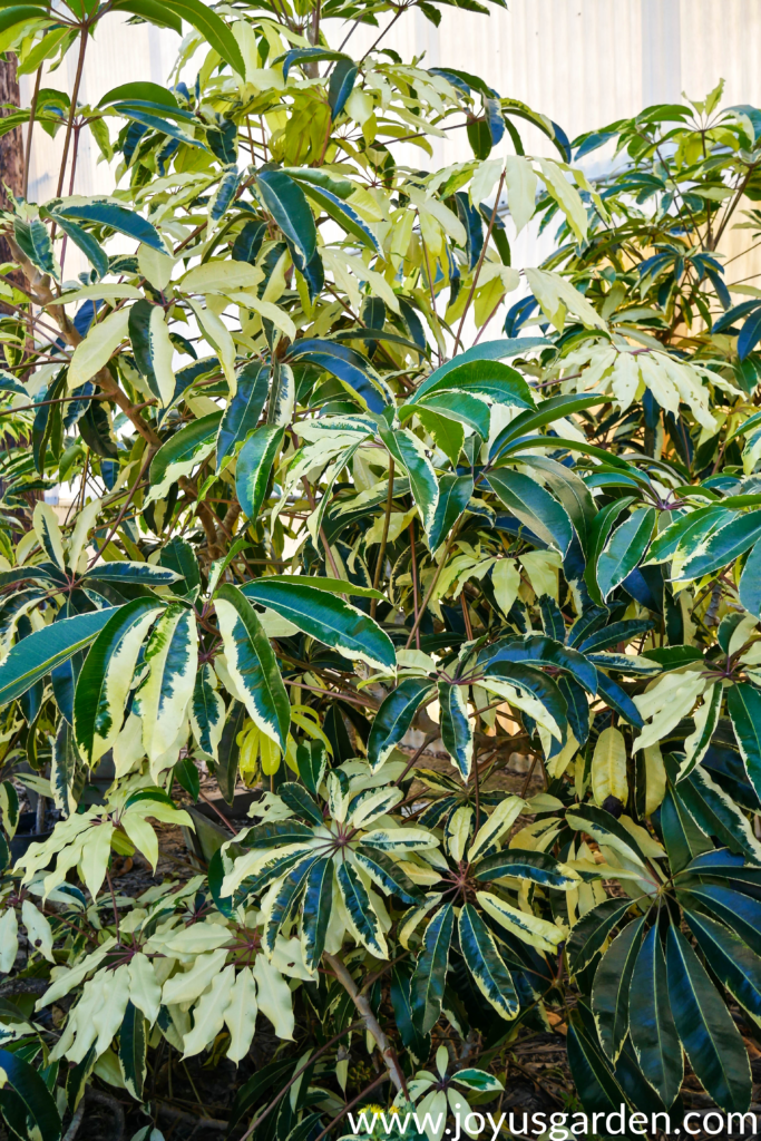 close up of a a variegated Schefflera pueckleri or variegated tupidanthus