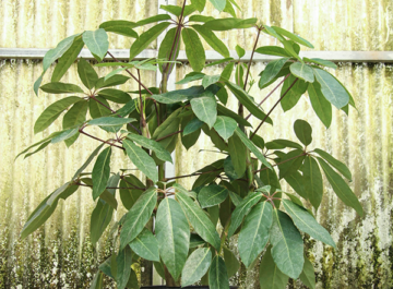 a schefflera amate sits in front of a rustic wall in a grower's greenhouse the text reads how to care for the glorious schefflera amate