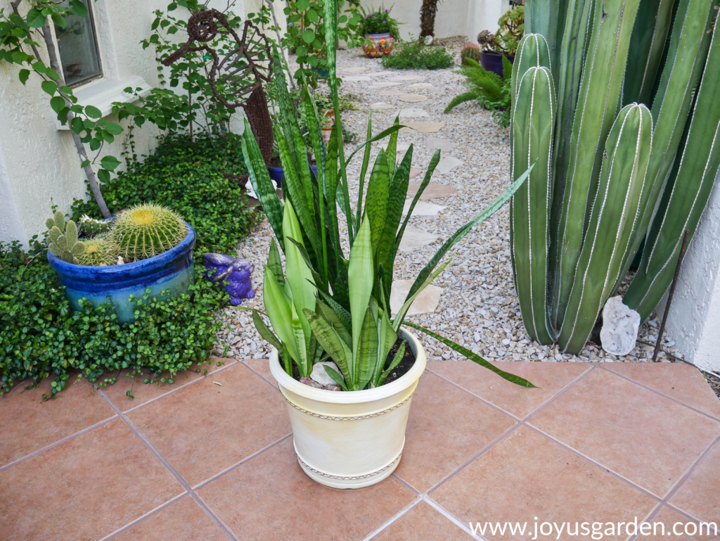 A large pot with Snake Plants sits on a patio. there are plants & a path in the background