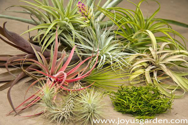 many different types of air plants tillandsias are grouped together with a piece of green moss in the front
