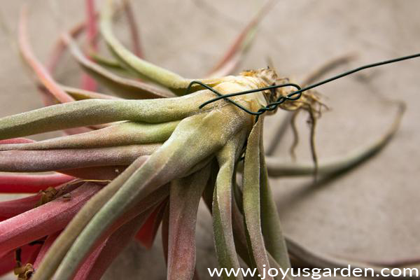 a piece of gren wire is wrapped around the base of a pink & pinkish-red air plant tillandsia