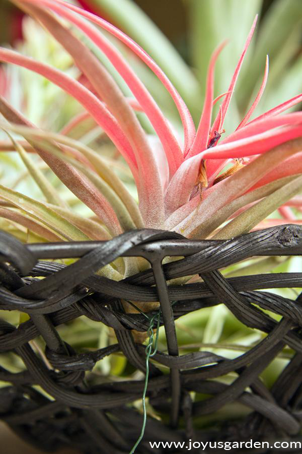 close up of a pinkish-red air plant tillandsia wired to a black basket