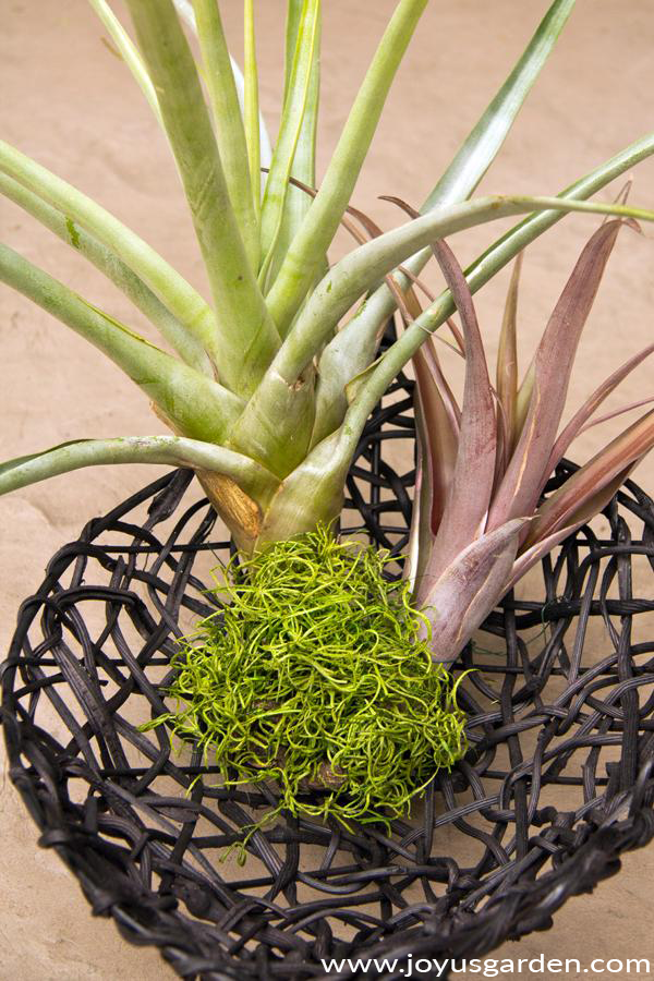 2 large air plants tillandsias sit in a black basket with bright green moss at their base