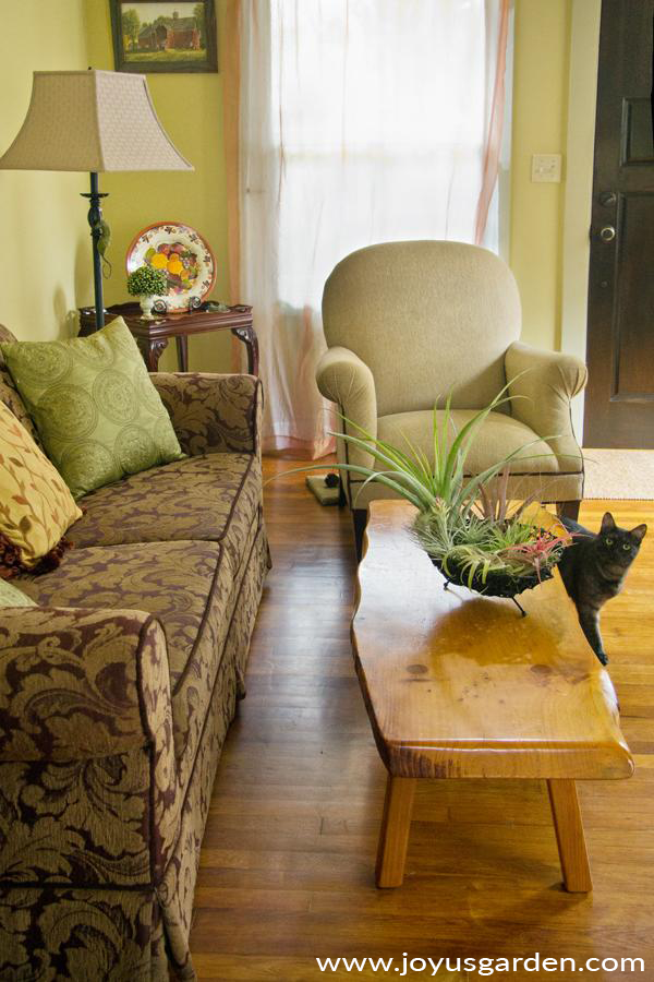 an air plant home decor piece in a black basket sits on a rustic wooden coffee table a grey cat peers around the table