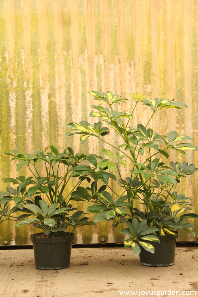 2 schefflera arboricolas 1 variegated sit in front of a rustic wall in a grower's greenhouse
