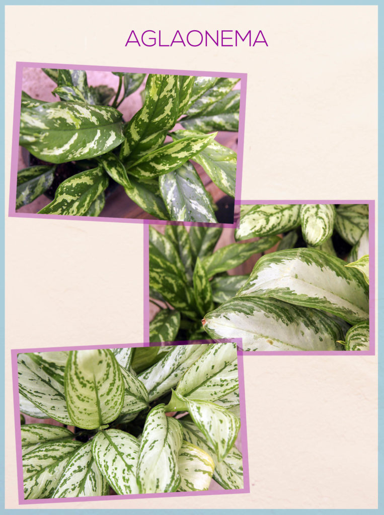 aglaonema chinese evergreens with different patterning on the page of the book keep your houseplants alive the header says aglaonema