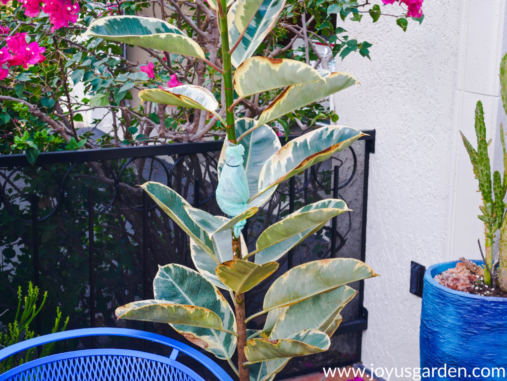 a variegated rubber plant rubber tree with a single stem being air layered