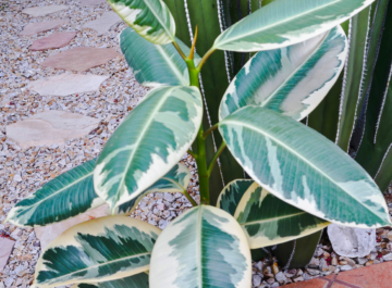 close up of an air layered Variegated Rubber Plant rubber tree in front of a large cactus